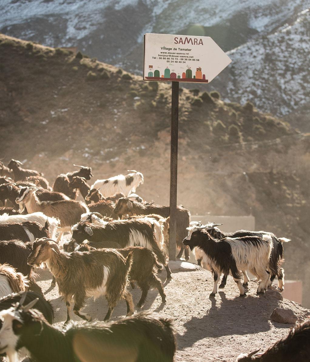 Marokko Atlassgebierge Ziegen